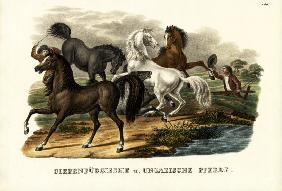 Transylvanian And Hungarian Horses 1824