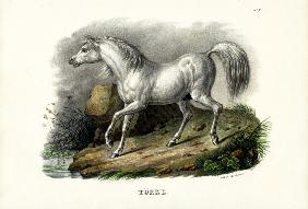 Turkish Horse 1824