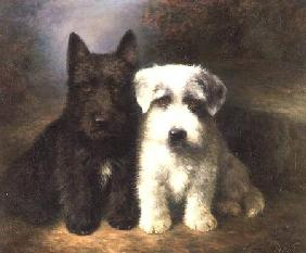 A Scottish and a Sealyham Terrier