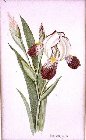 Botanical Iris, 1996 (w/c on paper)