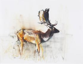 Magnificent Fallow Buck