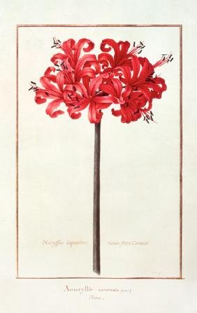 Amaryllis Sarniensis, or Narcissus  on