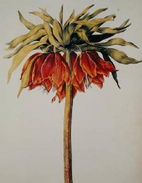 Crown Imperial Lily or Fritillary, from 'La Guirlande de Julie' c.1642  on