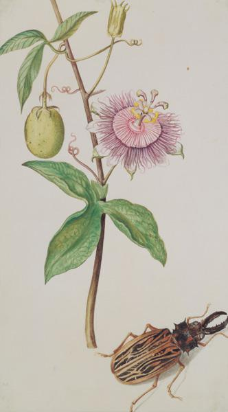 Exotic Plant and Beetle c.1675