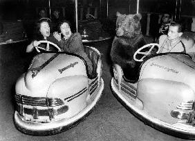 Brown bear of Bertram Mills circus in bumper cars dodgems animal animaux animals loisirs leisure December 1