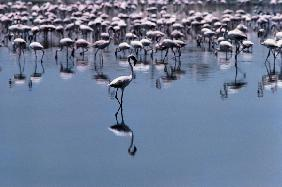 Birds, Flamingos visit coastal towns of Saurashtra (photo)