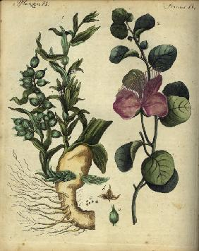Cardamom and Capers / from Bertuch 1792