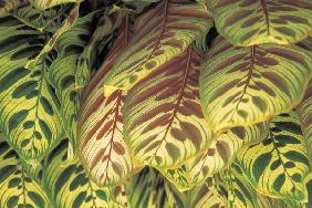 Colorful leaves of indoor plants, Bangalore (photo)