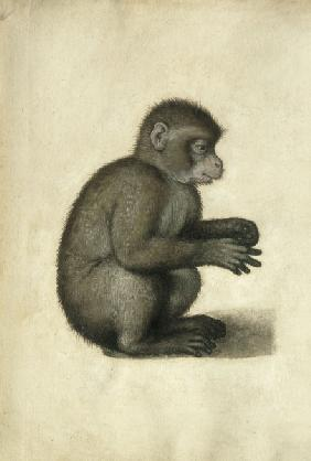 Monkey / Watercolour, attrib. to A.Dürer