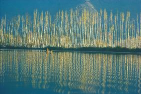Poplars in late autumn sunlight, Dal lake (photo)