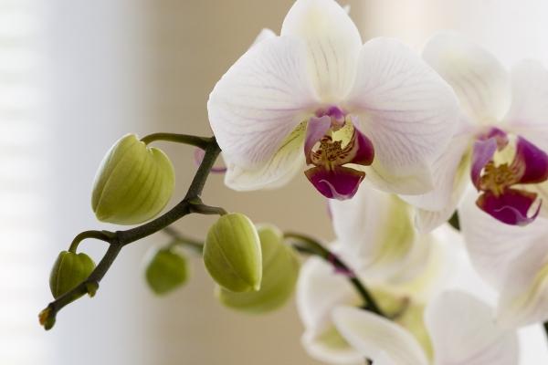 Orchidee artist artist als kunstdruck oder handgemaltes gem lde - Wandfarbe orchidee ...