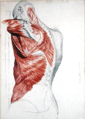 Human Anatomy; Muscles of the Torso and Shoulder (pencil & red chalk on paper)