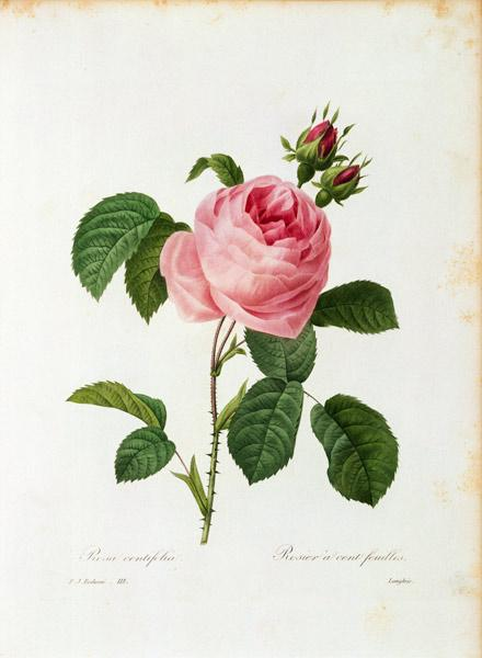 Cabbage Rose / Redouté 1835