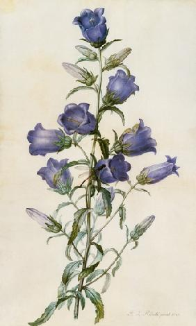 Campanula: Medium (Canterbury Bell) 1787