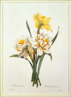 Narcissus gouani (double daffodil), engraved by Bessin, from 'Choix des Plus Belles Fleurs' 1827
