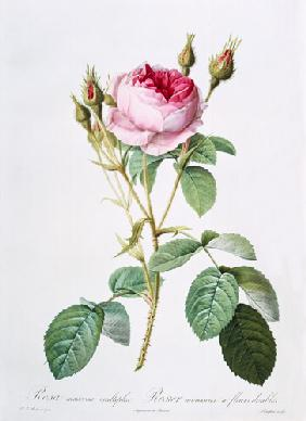 Rosa muscosa multiplex (double moss rose), engraved by Langlois, from 'Les Roses' 1817-24