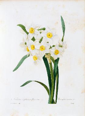Bunch-flowered Narcissus