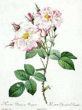 Rosa damascena variegata (York and Lancaster rose), engraved by Bessin, from 'Les Roses' 1817-24 ou