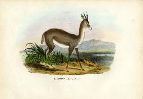 Arabian Gazelle 1863-79