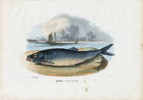 Atlantic Herring 1863-79