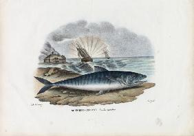 Atlantic Mackerel 1863-79