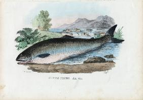 Atlantic Salmon 1863-79