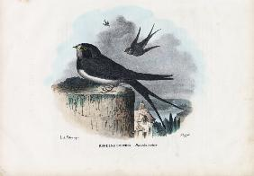 Barn Swallow 1863-79