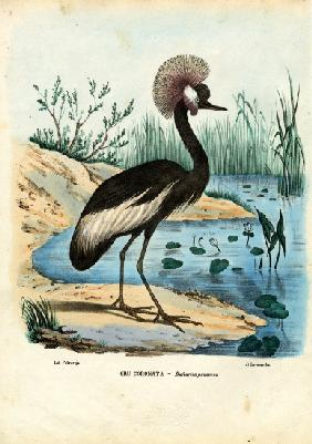 Black-Crowned Crane 1863-79