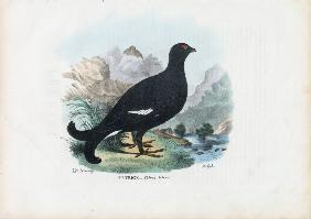 Black Grouse 1863-79