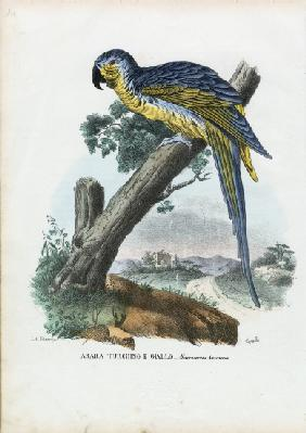 Blue-And-Yellow Macaw 1863-79