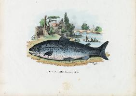 Brown Trout 1863-79