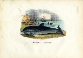 Common Dolphin 1863-79