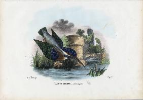 Common Kingfisher 1863-79