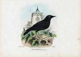 Common Starling 1863-79