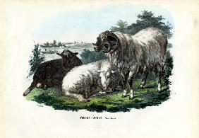 Domestic Sheep 1863-79