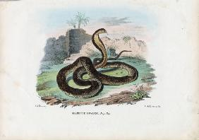 Egyptian Cobra 1863-79
