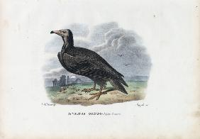 Egyptian Vulture 1863-79