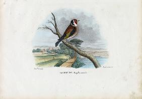 European Goldfinch 1863-79