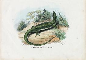 European Green Lizard 1863-79