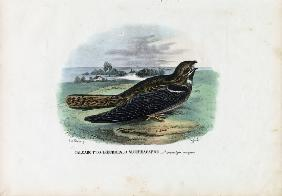 European Nightjar 1863-79