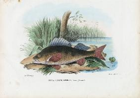 European Perch 1863-79