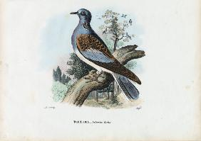 European Turtle Dove 1863-79