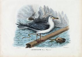 Great Black-Backed Gull 1863-79