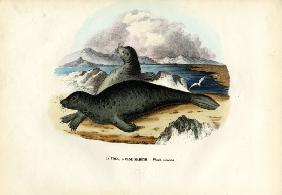 Harbour Seal 1863-79