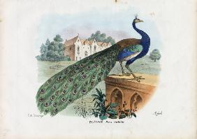 Indian Peafowl 1863-79