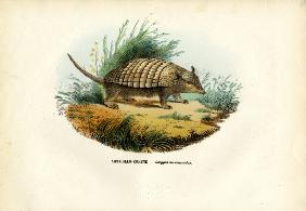 Nine-Banded Armadillo 1863-79