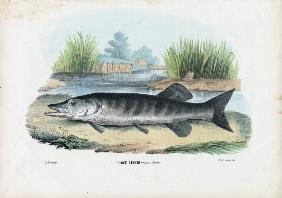 Northern Pike 1863-79