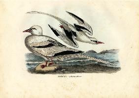 Red-Billed Tropicbird 1863-79