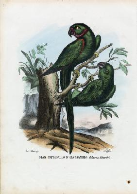 Rose-Ringed Parekeet 1863-79