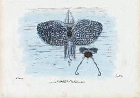 Sea Butterflies 1863-79